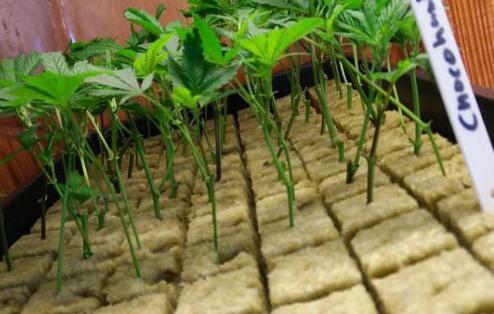 Utilizarea Vatei Minerale Bazaltice în grădinăritul hidroponic